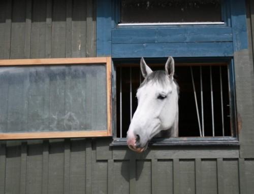 Ny forskning viser, at heste kan spørge om hjælp