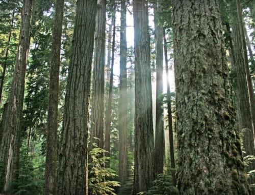 Professor: Træer taler sammen og passer på hinanden